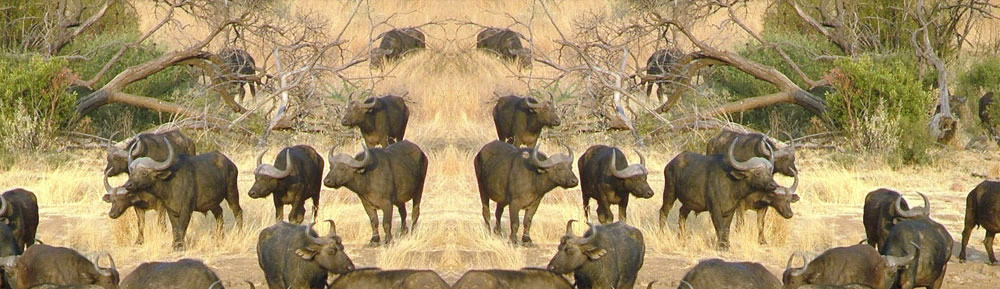 Great Wildbeest Migration