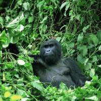 Gorilla in Bwindi Safaris GBS (4 Days)