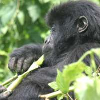 Chimp and Gorilla Safari to Uganda and Rwanda - GCUR