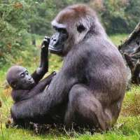 Bwindi Impenetrable Forest Safari BIFS (7 Days)>Gorilla trekking Uganda