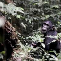 Chimps on Ngamba Island CNI (3days)>chimp tracking Uganda